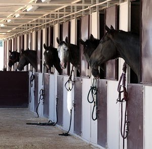 Horses looking out of their stalls