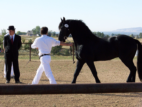 Friesian horse at Keuring