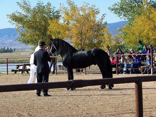 Beautiful Friesian horse