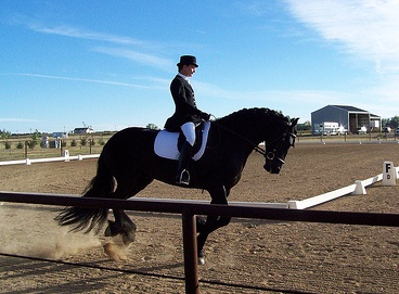 Friesian being tested for movement