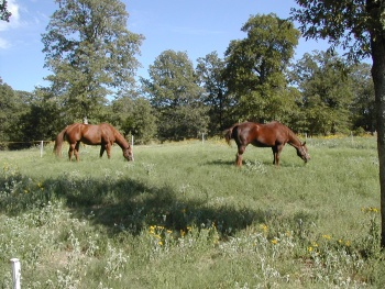 Two sorrel horses grazing