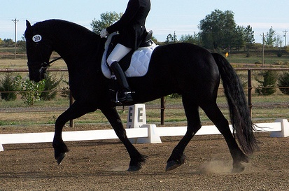 Friesian with rider's head not showing