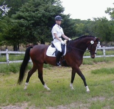 Warmblood at dressage show