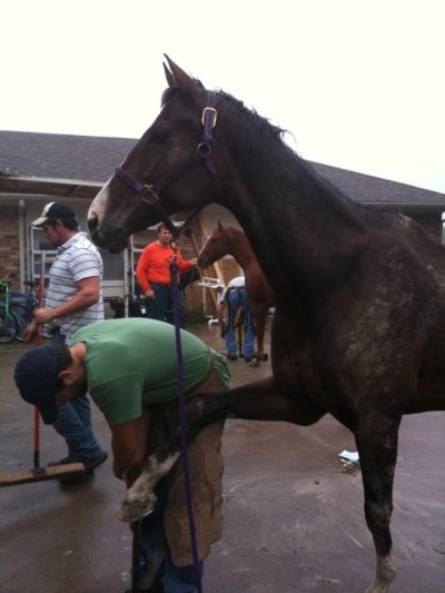 Warmblood getting front foot trimmed