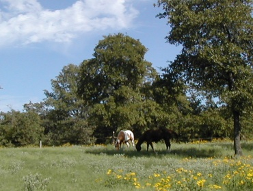 Two horses grazing in green pasture.