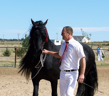 Friesian with long mane
