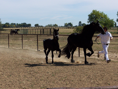 Friesian foal with mom