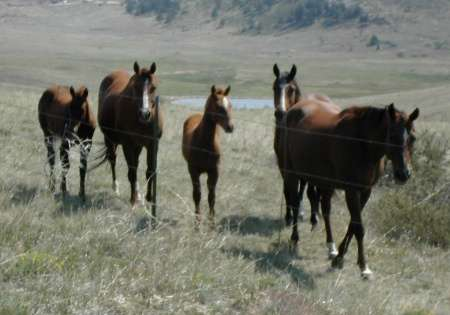 mares and foals in a mountain pasture