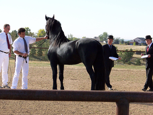 Solid looking friesian horse