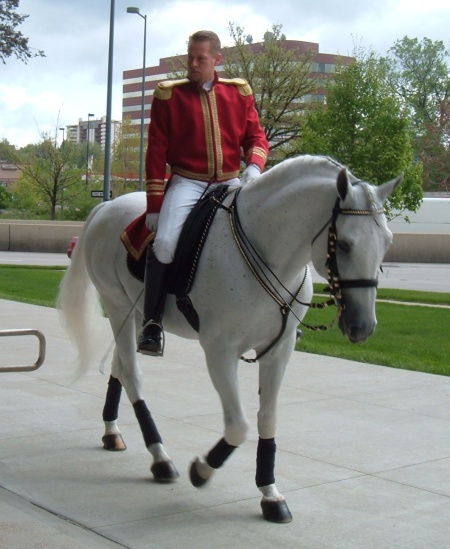 Lipizzaner walking