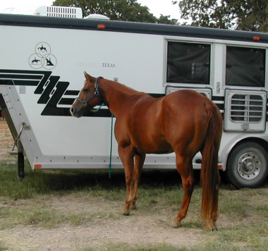 Zippy horse tied to trailer